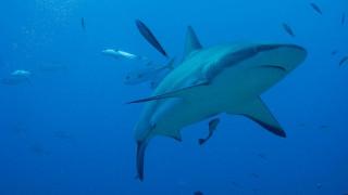 Ανακαλύφθηκε ο πρώτος «χορτοφάγος» καρχαρίας