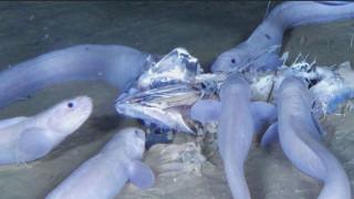 Τρία νέα θαλάσσια είδη ανακαλύφθηκαν σε μια από τις βαθύτερες τάφρους της Γης