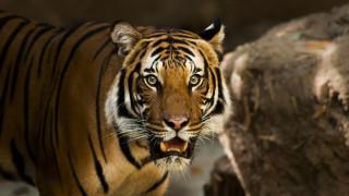 Δικαστήριο της Ινδίας «επικήρυξε» ανθρωποφάγο τίγρη – Έντονες οι αντιδράσεις των ακτιβιστών