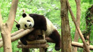 Τσι Ζάι: Το σπάνιο πάντα της Κίνας που ανήκει σε αρχαίο είδος