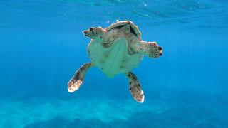 Διάσωση τραυματισμένης θαλάσσιας χελώνας ανοιχτά της Σύρου