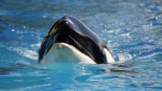 «Αποκάλυψη» για τις φάλαινες δολοφόνους – Με εξαφάνιση κινδυνεύει ο μισός πληθυσμός τους