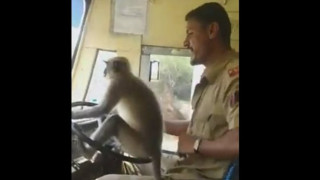 Μια μαϊμού σε ρόλο «σοφέρ» σε λεωφορείο στην Ινδία