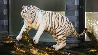 Νεκρός φύλακας ζωολογικού κήπου μετά από επίθεση τίγρη
