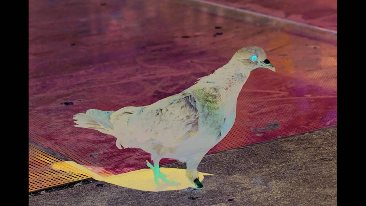 https://cdn.cnngreece.gr/media/news/2018/10/16/150868/photos/snapshot/1-Pigeon.jpg