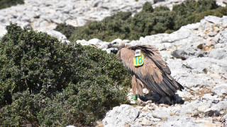 Δορυφορικός πομπός κατέγραψε το μακρύ ταξίδι του «Αλέξη», του γύπα που ταξίδεψε μέχρι την Υεμένη