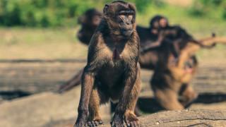 Ινδία: Μαϊμούδες σκότωσαν 72χρονο πετώντας του τούβλα