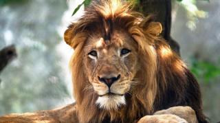 Ανεξήγητο: Λιονταρίνα σκότωσε τον σύντροφό της σε ζωολογικό κήπο
