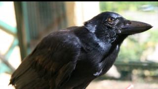 Ο Αίσωπος δικαιώνεται: Τα κοράκια είναι έξυπνα και μάλιστα δημιουργούν μόνα τους εργαλεία