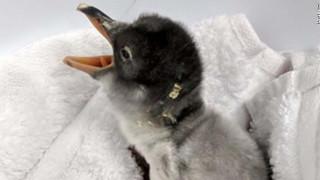 Δύο αρσενικοί πιγκουίνοι έγιναν γονείς