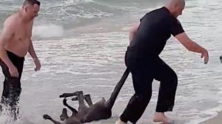Η Αυστραλία αποθεώνει τους δύο αστυνομικούς που έσωσαν καγκουρό από βέβαιο πνιγμό
