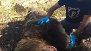 Νεκρή σε τροχαίο η μεγαλύτερη αρκούδα που έχει βρεθεί στην Ελλάδα
