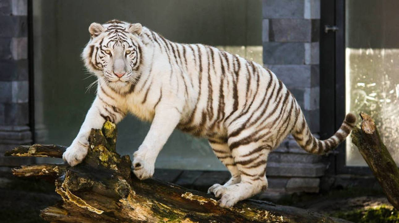 Προσπαθεί να κάνει μπάνιο μια τίγρη και δείτε τι γίνεται