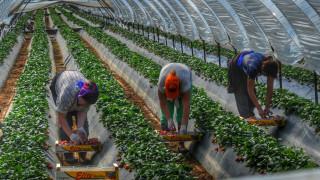 Μανωλάδα: Αναίρεση κατά της αθωωτικής απόφασης για τις «ματωμένες» φράουλες