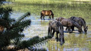 Πυροβόλησαν και σκότωσαν πέντε άγρια άλογα στο Δέλτα του Έβρου