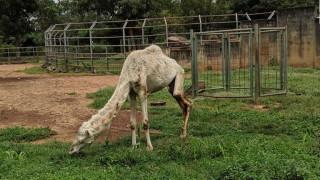 Σάλος για τη σκελετωμένη καμήλα σε ζωολογικό κήπο στη Νιγηρία