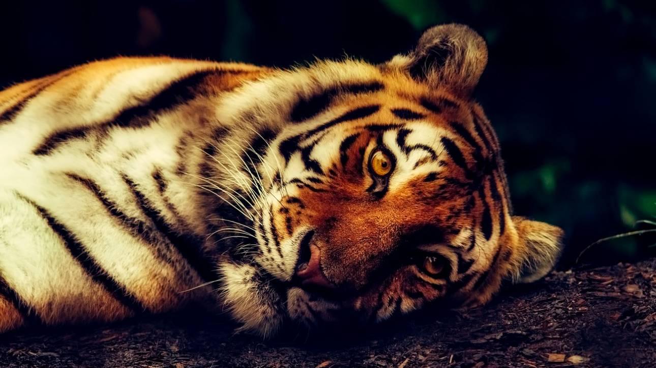 Οργή στην Ινδία μετά τον φόνο δύο τίγρεων