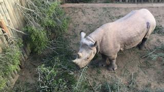 Τσαντ: Νεκροί τέσσερις μαύροι ρινόκεροι που είχαν επανεισαχθεί στη χώρα για τη διάσωσή τους