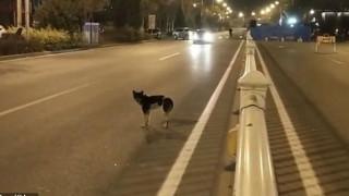 Συγκινητικό βίντεο: Σκύλος περιμένει επί 80 μέρες στο σημείο που σκοτώθηκε η ιδιοκτήτριά του