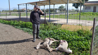Ελάφια επιτέθηκαν σε πρόβατα στη Λήμνο (vids)