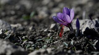 Κρόκος Κοζάνης: Ωδή του Reuters στον «κόκκινο χρυσό» της Ελλάδας