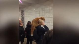 Μια...αλεπού ο πιο ασυνήθιστος επιβάτης στο μετρό της Μόσχας