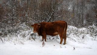 Τρίκαλα: Αγελάδες κάνουν «βόλτα» στους χιονισμένους δρόμους και γλείφουν το... αλάτι