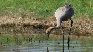 Γερανός κάνει «βόλτα» στη λιμνοθάλασσα του Ωρωπού