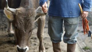 Οι Ελβετοί είπαν «όχι» στις αγελάδες με κέρατα