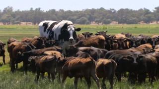 Αυτός είναι ο Knickers: Ένα βόδι με ύψος μπασκετμπολίστα και βάρος αυτοκινήτου