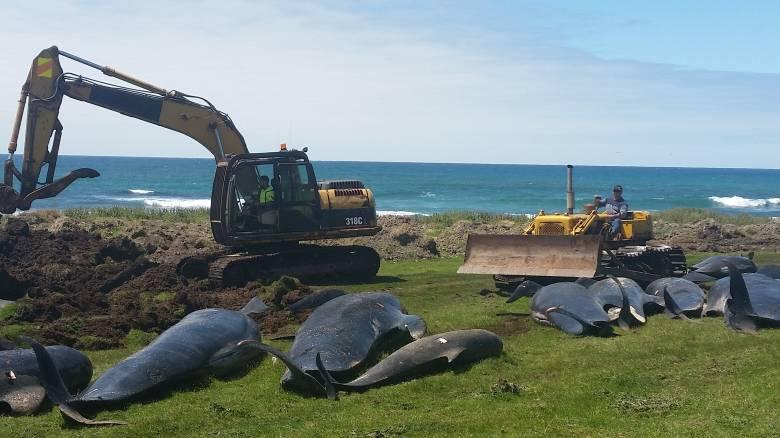 Ακόμη 51 φάλαινες ξεβράστηκαν νεκρές στη Νέα Ζηλανδία