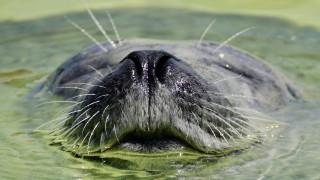 Φώκια κάνει… «σέρφινγκ» πάνω σε φάλαινα και γίνεται viral