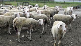 Στους μετανάστες στηρίζεται η μετακινούμενη κτηνοτροφία στη Θεσσαλία