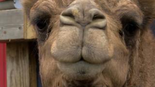 Σκούμπι, η καμήλα: Το κατοικίδιο που έχει γίνει η μασκότ μιας ολόκληρης πόλης