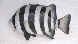 Πώς ψάρι «εισβολέας» από την Ιαπωνία βρέθηκε στην Καλιφόρνια