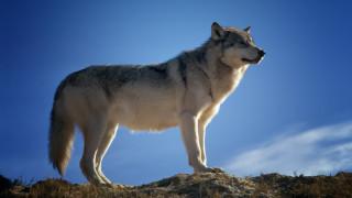 Εικόνες που σοκάρουν: Τρώνε την ωμή καρδιά ενός λύκου που μόλις σκότωσαν