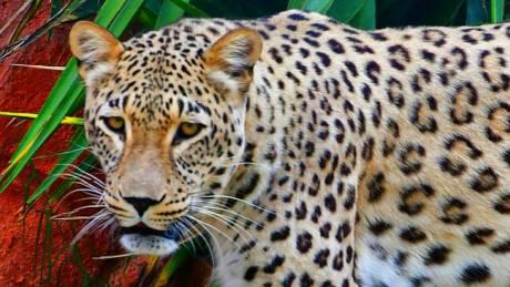 Οργισμένη απάντηση από το Αττικό Ζωολογικό Πάρκο για τη θανάτωση των τζάγκουαρ