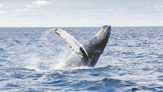 Η Ιαπωνία επιστρέφει στην εμπορική φαλαινοθηρία από το 2019