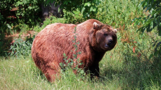 Αρκούδα κατασπάραξε κυνηγό που τη μεγάλωνε ως κατοικίδιο