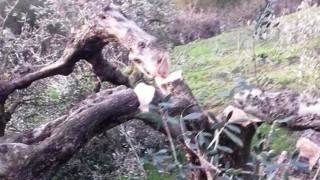 Σε απόγνωση αγρότης στην Κρήτη: Του έκοψαν 100 ρίζες ελιές ηλικίας άνω των 35 ετών