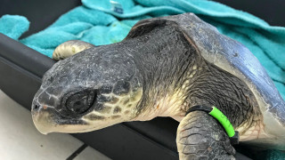Ινδονησία: Διασώθηκαν δεκάδες θαλάσσιες χελώνες μετά το φονικό τσουνάμι