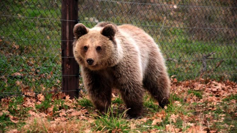 Έγκυος αρκούδα βρέθηκε δηλητηριασμένη και αποκεφαλισμένη στην Κοζάνη