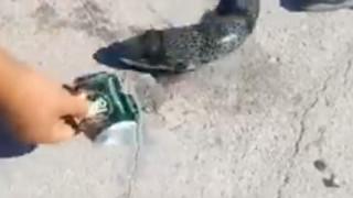 Κρήτη: Λαγοκέφαλος τρώει μεταλλικό κουτάκι