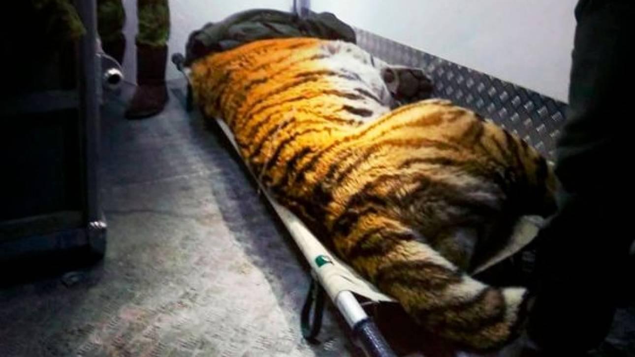 Πληγωμένος τίγρης «ζήτησε» τη βοήθεια ανθρώπων και η συνέχεια είναι πέρα από κάθε φαντασία!