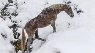Μαγευτικές φωτογραφίες: Άγρια άλογα στα χιονισμένα βουνά της Σαμαρίνας