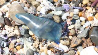 «Εισβολή» μπλε μεδουσών στις ακτές της Αυστραλίας