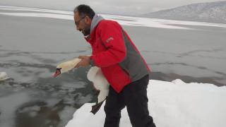 Επιχείρηση… εγκλωβισμένα πουλιά στην παγωμένη λίμνη της Καστοριάς