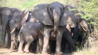 Η φύση προστατεύει τους ελέφαντες της Μοζαμβίκης – Γιατί γεννιούνται χωρίς χαυλιόδοντες