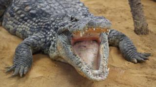 Γιγάντιος κροκόδειλος κατασπάραξε επιστήμονα που τον τάιζε στην Ινδονησία