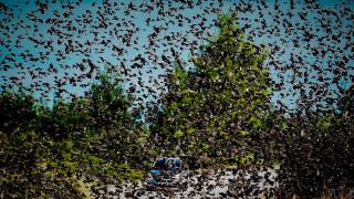 Εντυπωσιακές εικόνες: Σμήνη από αγριοπούλια στην Αταλάντη